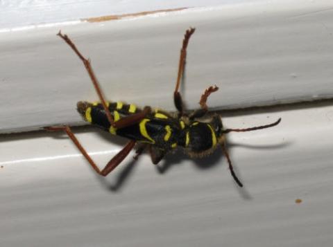 woher kommen immer im januar diese schwarz gelben krabbeltierchen schwarz gelb winter. Black Bedroom Furniture Sets. Home Design Ideas