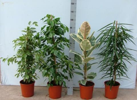 Ficus arten bilder