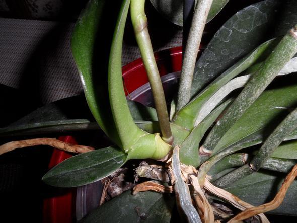 orchideen ableger pflanze pflege pflanzen. Black Bedroom Furniture Sets. Home Design Ideas