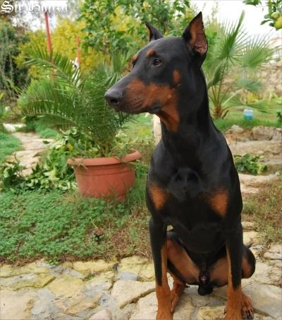suche dobermannwelpen kupiert und weiblich tiermarkt dobermann hund. Black Bedroom Furniture Sets. Home Design Ideas