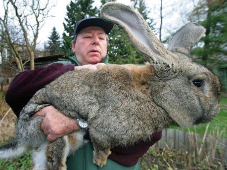 wie schnell wirt ein deutscher riese kaninchen ausgewachsen ohne mast futter oder so tiere. Black Bedroom Furniture Sets. Home Design Ideas