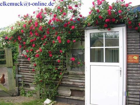 kletterrose in k beln rosen g rtner. Black Bedroom Furniture Sets. Home Design Ideas