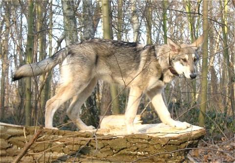 einen wolf haustier halten