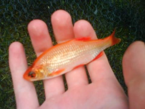 Teichfisch mit diesen eigenschaften fische teich for Algenfresser teich