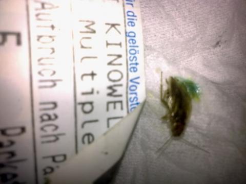 kleine braune k fer mit blauen eingeweiden tiere insekten. Black Bedroom Furniture Sets. Home Design Ideas