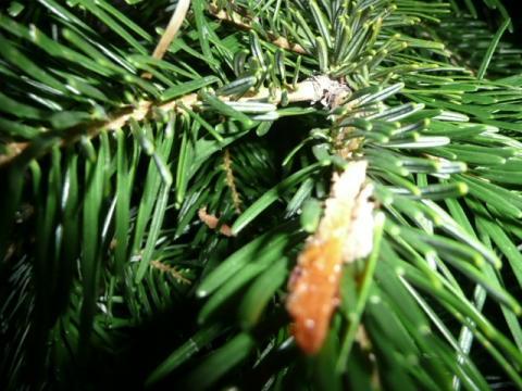 weihnachtsbaum glitschiges schmieriges zeug an den nadeln. Black Bedroom Furniture Sets. Home Design Ideas
