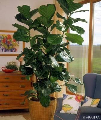 welche zimmerpalme zimmerpflanzen pflanzenpflege palmen. Black Bedroom Furniture Sets. Home Design Ideas