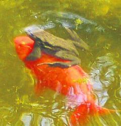 Frosch klammert sich am goldfisch fest im teich was ist for Goldfisch haltung im teich