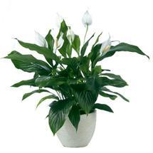 welche pflanze im zimmer pflanzen zimmerpflanzen. Black Bedroom Furniture Sets. Home Design Ideas