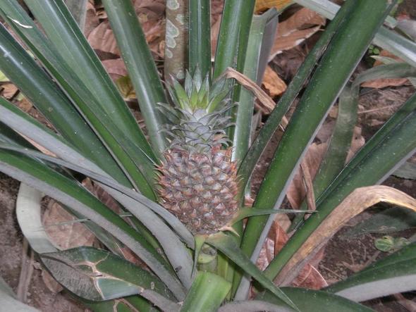 in welche richtung wachsen ananasfr chte ananas frucht. Black Bedroom Furniture Sets. Home Design Ideas