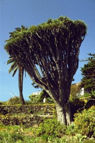 wie oft muss ein drachenbaum gegossen werden pflege pflanzen. Black Bedroom Furniture Sets. Home Design Ideas