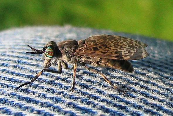 aggressive fliegen insekten ungeziefer. Black Bedroom Furniture Sets. Home Design Ideas