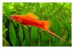 Welche zierfische sind f r anf nger geeingent fische for Welche teichfische fressen algen