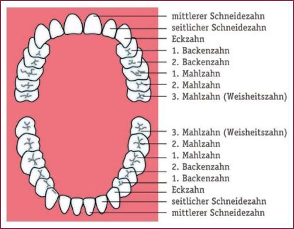 Stomatologie Deutsch 3. Zähne – Struktur, Wachstum und die Anatomie ...
