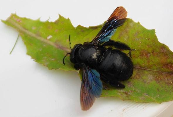 was ist das f r ein fliegender schwarzer k fer insekten. Black Bedroom Furniture Sets. Home Design Ideas