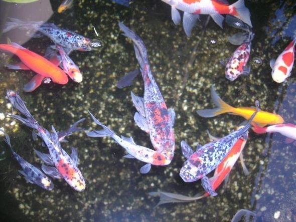 Godfische im teich1 goldfische fische for Shubunkin teich