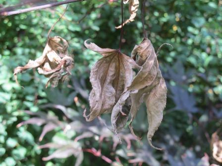 jap ahorn bekommt braune vertrocknete bl tter beginnend am rand garten pflanzen baum. Black Bedroom Furniture Sets. Home Design Ideas