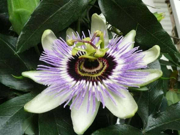 Kletternde zimmerpflanze kletterpflanzen pflanzenpflege - Efeu zimmerpflanze giftig ...