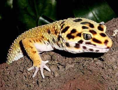 Gecko haustier kaufen
