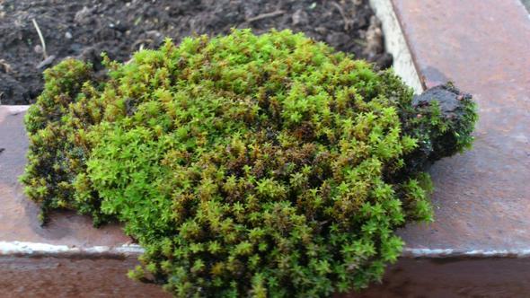 Bonsai moos hilfe pflanzen pflanze for Moos bilder pflanzen