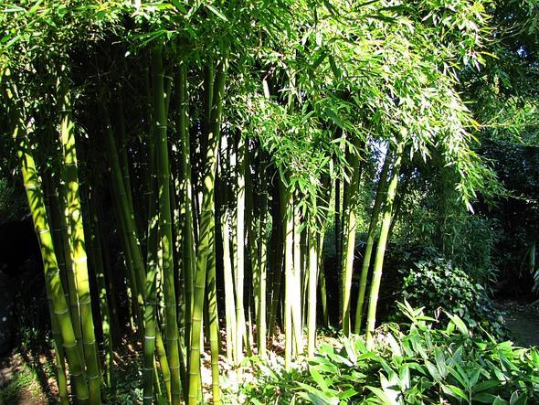 bambus in deutschland garten. Black Bedroom Furniture Sets. Home Design Ideas