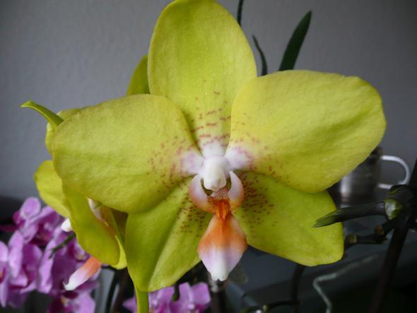 wie erhalte ich orchideen ableger zimmerpflanzen pflanze pflanzen. Black Bedroom Furniture Sets. Home Design Ideas