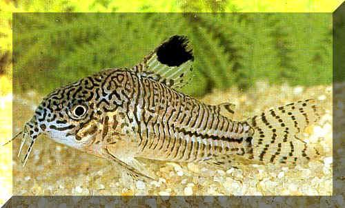Welche fische passen zu guppys aquarium for Welche fische passen zu goldfischen im gartenteich