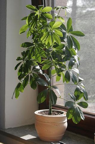 zimmerpflanze bestimmen wer kennt sich aus pflanzen zimmerpflanzen. Black Bedroom Furniture Sets. Home Design Ideas