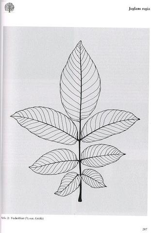 ich muss mein baumtagebuch abgeben und ich finde ich hab zu wenig walnussbaum schule. Black Bedroom Furniture Sets. Home Design Ideas