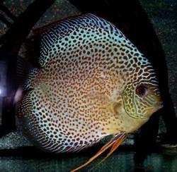 Roland for Bilder teichfische