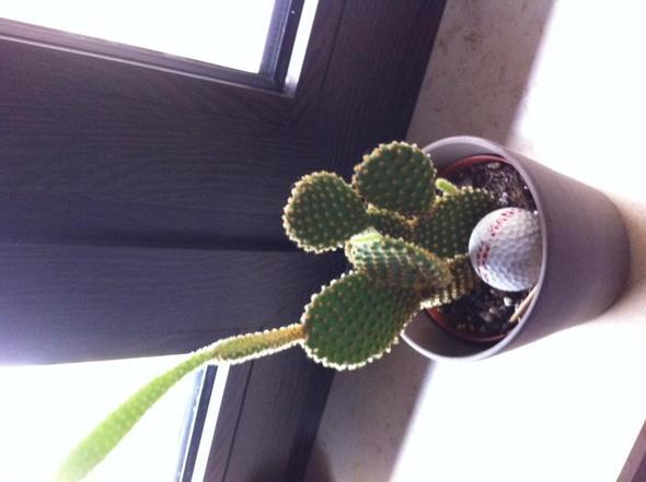 ableger von diesem kaktus pflanzen pflanzenpflege pflanze. Black Bedroom Furniture Sets. Home Design Ideas