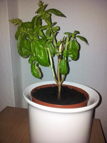 basilikum berwintern stamm verholzt pflanzen botanik. Black Bedroom Furniture Sets. Home Design Ideas