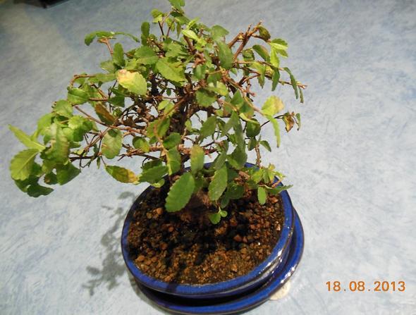 bonsai bekommt immer mehr braune bl tter pflanze. Black Bedroom Furniture Sets. Home Design Ideas