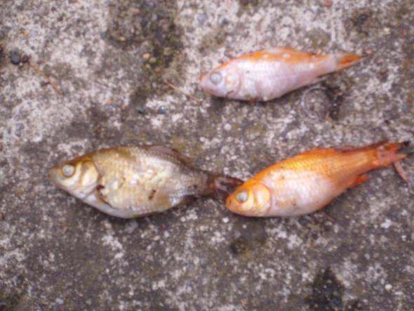 Fische in meinem teich garten teichfische for Goldfische und kois in einem teich