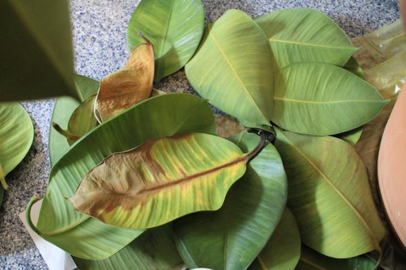 gummibaum verliert alle bl tter hilfe zimmerpflanzen garten pflanzen. Black Bedroom Furniture Sets. Home Design Ideas