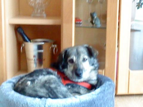 Hund legt sich beim gassi gehen hin
