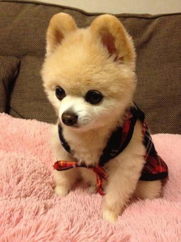 What kindbreed of dog is Boo the Facebook dog  Quora