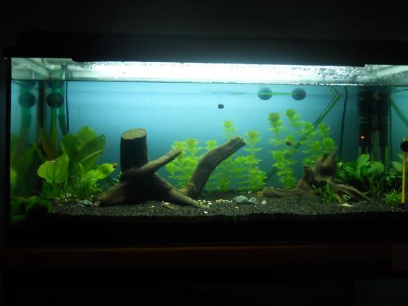 ist das paarungsverhalten bei meinen panzerwelsen paarung fischen aquarium. Black Bedroom Furniture Sets. Home Design Ideas