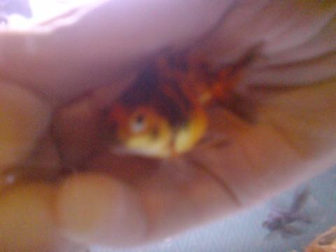 Ist mein goldfisch tr chtig fische goldfische for Fische goldfische