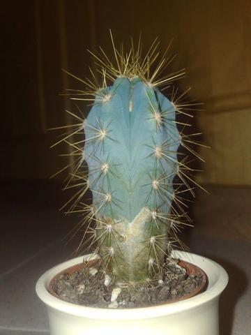 kaktus was habe ich falsch gemacht wasser pflanzen. Black Bedroom Furniture Sets. Home Design Ideas