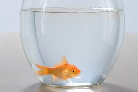 Kann man goldfische wirklich in einem glas halten for Fische halten