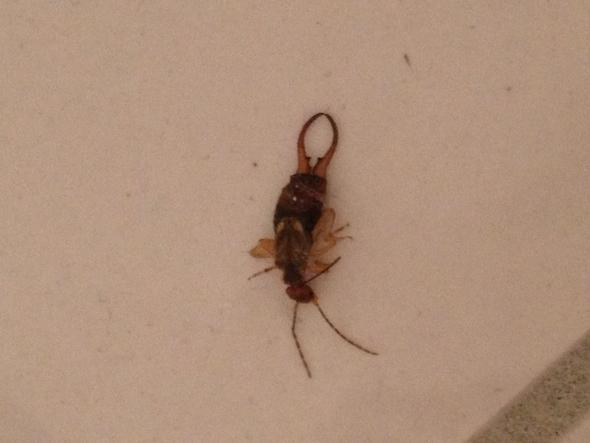 kann mir wer sagen was das f r ein insekt ist insekten kaefer ohrwurm. Black Bedroom Furniture Sets. Home Design Ideas