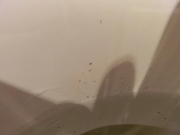 kleine schwarze w rmer im wc sp lwasser woher kommen die. Black Bedroom Furniture Sets. Home Design Ideas