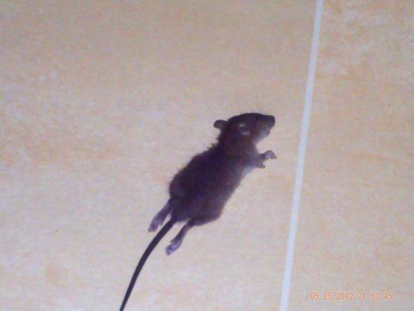 unterschied ratte maus ne ratte oder ne maus tee ratten unterschied ratte maus video den. Black Bedroom Furniture Sets. Home Design Ideas