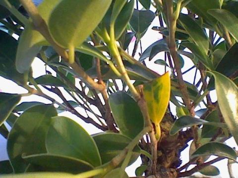mein bonsai hat gelbe bl tter was tun gelb bl stter. Black Bedroom Furniture Sets. Home Design Ideas