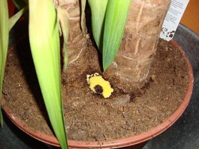 meine yucca palme ist krank palmen pflanzen krankheiten. Black Bedroom Furniture Sets. Home Design Ideas