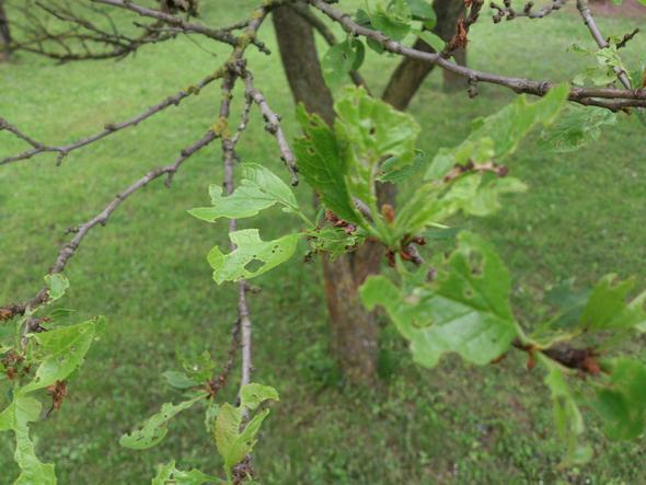 Stockrosen Blätter Haben Löcher : obstbaumbl tter haben l cher obstbaumkrankheiten blaetter ~ Lizthompson.info Haus und Dekorationen
