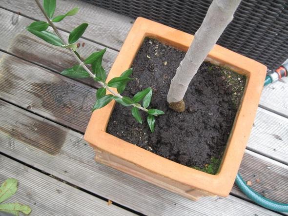 olivenbaum abmoosen pflanzen olive b ume. Black Bedroom Furniture Sets. Home Design Ideas