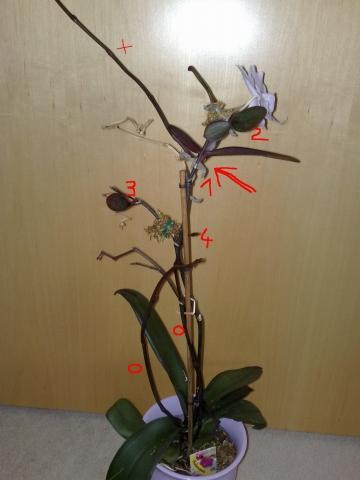 orchidee mit bl hendem ableger wie behandeln orchideen phalaenopsis. Black Bedroom Furniture Sets. Home Design Ideas