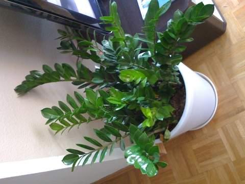kirschlorbeer giftig kirschlorbeer giftig achtung gefahr f r kinder ist diese pflanze giftig f. Black Bedroom Furniture Sets. Home Design Ideas